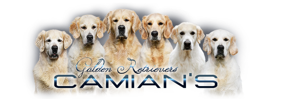 Golden retriever - Camian's Zlatý - retrívr