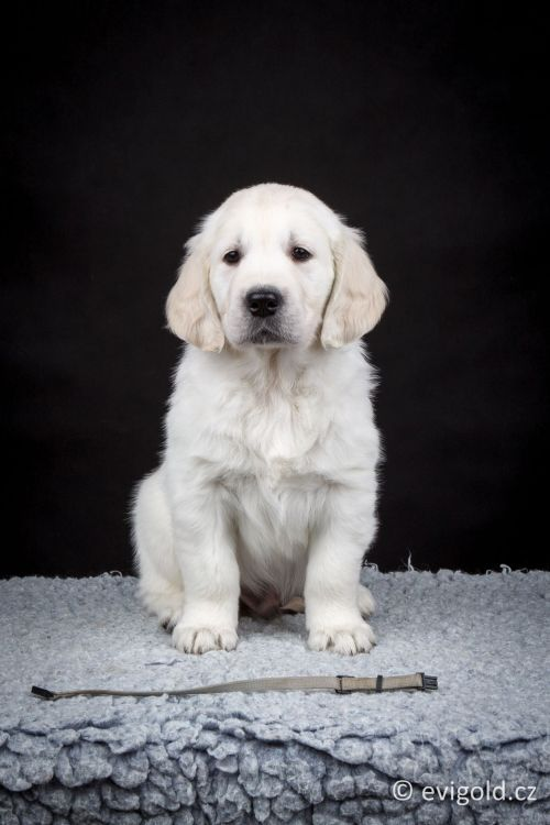 Golden retriever Camian s 9d1aa13497c