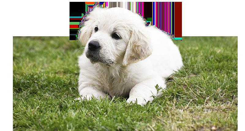 georgerhodes additionally 10767 Pugzu  pug X Shih Tzu  Pups as well Basset Fauve De Bretagne furthermore 37402 Hungarian Vizsla Puppies Lying Together additionally Geniusmind. on puppies
